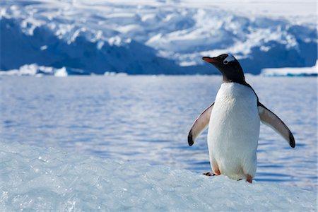 Gentoo Penguin, Antarctica Stock Photo - Rights-Managed, Code: 700-02912469