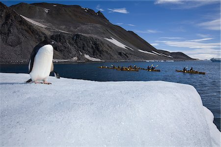 Gentoo Penguin Observing Kayakers, Antarctica Stock Photo - Rights-Managed, Code: 700-02912463