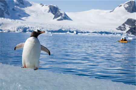 Gentoo Penguin Observing Kayaker, Antarctica Stock Photo - Rights-Managed, Code: 700-02912470