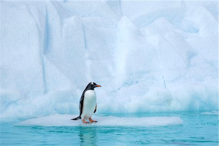 Gentoo Penguin, Antarctica Stock Photo - Rights-Managed, Code: 700-02912472