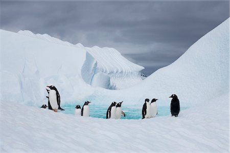 Gentoo Penguins, Antarctica Stock Photo - Rights-Managed, Code: 700-02912473