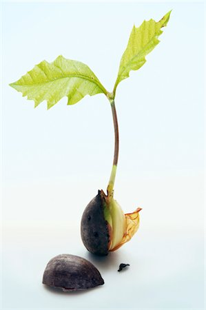 sprout - Sprouting Acorn Stock Photo - Rights-Managed, Code: 700-02935841
