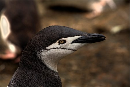 Close-up of Chinstrap Penguin, Antarctica Stock Photo - Rights-Managed, Code: 700-02967488