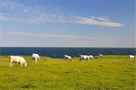 Cows near Coast of Baltic Sea, near Kaseberga, Sweden Stock Photo - Rights-Managed, Code: 700-02967652