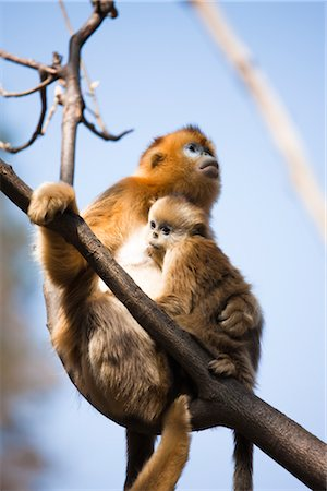 Golden Snub-nosed Monkey Mother and Baby, Qinling Mountains, Shaanxi Province, China Stock Photo - Rights-Managed, Code: 700-03005299