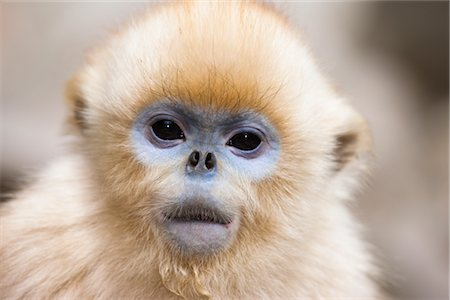 furry - Portrait of Golden Snub-nosed Monkey, Qinling Mountains, Shaanxi Province, China Stock Photo - Rights-Managed, Code: 700-03005305