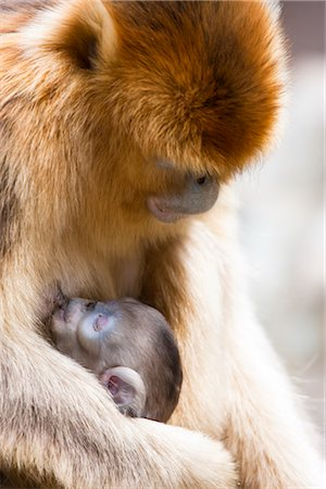 Golden Snub-nosed Monkey Mother and Baby, Qinling Mountains, Shaanxi Province, China Stock Photo - Rights-Managed, Code: 700-03005303