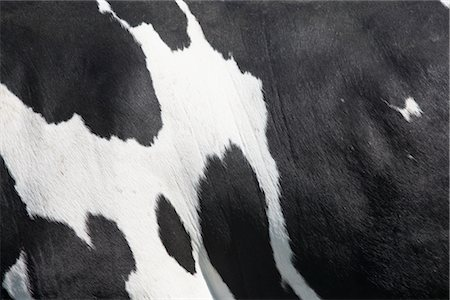 Close-up of a Cow's Skin Stock Photo - Rights-Managed, Code: 700-03003584