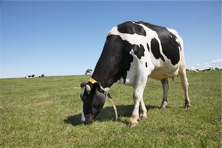 Cow Grazing in Field Stock Photo - Rights-Managed, Code: 700-03003582