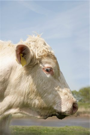 Portrait of Cow Stock Photo - Rights-Managed, Code: 700-03003614
