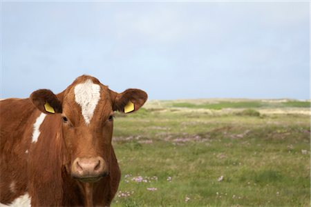 Portrait of Cow Stock Photo - Rights-Managed, Code: 700-03003621