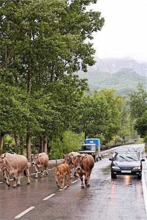 Herd of Cattle on the Road, Cantabria, Spain Stock Photo - Rights-Managed, Code: 700-03015198