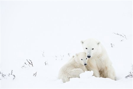 Mother and Young Polar Bear, Churchill, Manitoba, Canada Stock Photo - Rights-Managed, Code: 700-03017619