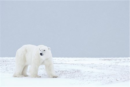 Polar Bear, Churchill, Manitoba, Canada Stock Photo - Rights-Managed, Code: 700-03017610