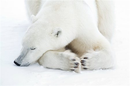 Polar Bear Sleeping, Churchill, Manitoba, Canada Stock Photo - Rights-Managed, Code: 700-03017635