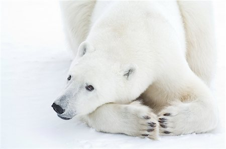 Close-up of Polar Bear, Churchill, Manitoba, Canada Stock Photo - Rights-Managed, Code: 700-03017636