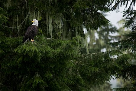 Bald Eagle, British Columbia, Canada Stock Photo - Rights-Managed, Code: 700-03068214