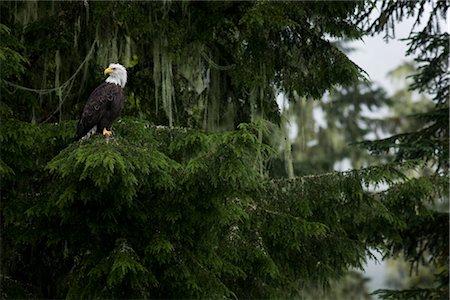 Bald Eagle, British Columbia, Canada Stock Photo - Rights-Managed, Code: 700-03068214