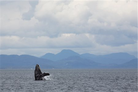 Breaching Humpback whale, British Columbia, Canada Stock Photo - Rights-Managed, Code: 700-03068215