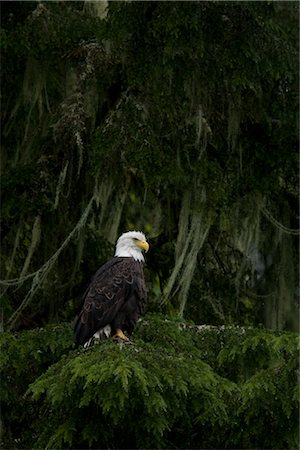 Bald Eagle, British Columbia, Canada Stock Photo - Rights-Managed, Code: 700-03068213