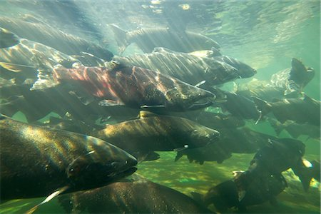 Chinook Salmon Stock Photo - Rights-Managed, Code: 700-03068747