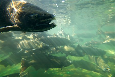 Chinook Salmon Stock Photo - Rights-Managed, Code: 700-03068748