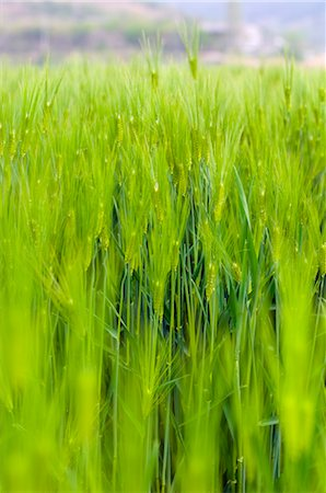 Barley Plant, South Korea Stock Photo - Rights-Managed, Code: 700-03084030