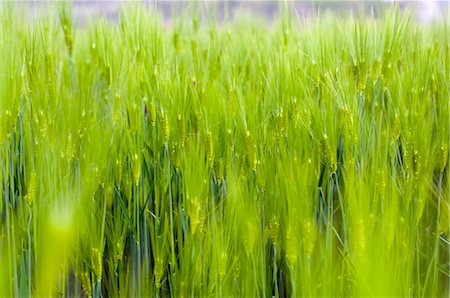 Barley Plant, South Korea Stock Photo - Rights-Managed, Code: 700-03084031