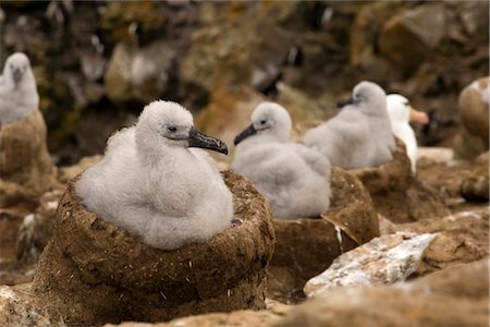 Black-browed Albatross Chicks, Falkland Islands Stock Photo - Rights-Managed, Code: 700-03083906