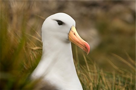 Black-Browed Albatross Stock Photo - Rights-Managed, Code: 700-03083908