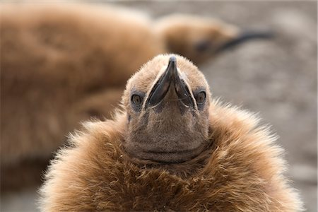 Close-up of King Penguin Chick, South Georgia Island, Antarctica Stock Photo - Rights-Managed, Code: 700-03083917
