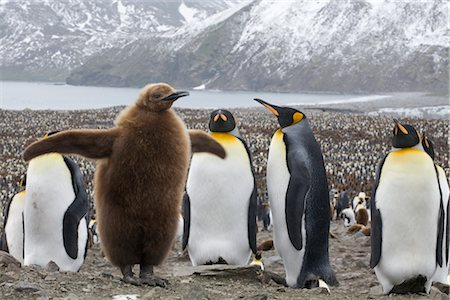 King Penguins, South Georgia Island, Antarctica Stock Photo - Rights-Managed, Code: 700-03083912