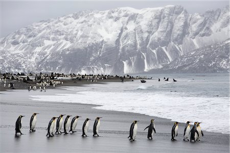 King Penguins on Beach, South Georgia Island, Antarctica Stock Photo - Rights-Managed, Code: 700-03083928