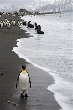 King Penguin on Beach, South Georgia Island, Antarctica Stock Photo - Rights-Managed, Code: 700-03083929