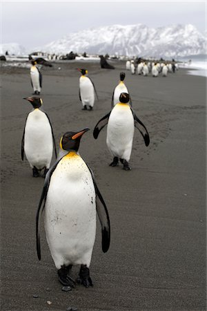 King Penguins, South Georgia Island, Antarctica Stock Photo - Rights-Managed, Code: 700-03083920
