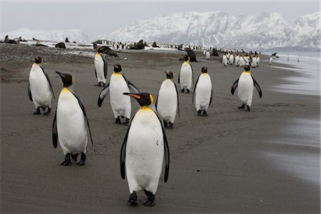 King Penguins, South Georgia Island, Antarctica Stock Photo - Rights-Managed, Code: 700-03083921
