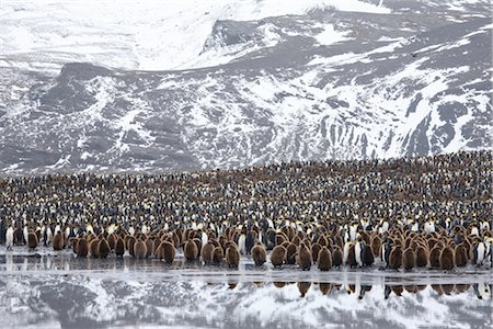 King Penguin Colony, South Georgia Island, Antarctica Stock Photo - Rights-Managed, Code: 700-03083923