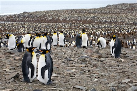 King Penguins, South Georgia Island, Antarctica Stock Photo - Rights-Managed, Code: 700-03083936