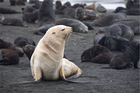 White Phase Fur Seal, South Georgia Island, Antarctica Stock Photo - Rights-Managed, Code: 700-03083940