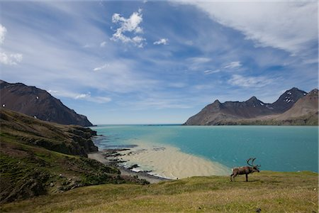 Reindeer, Fortuna Bay, South Georgia Island, Antarctica Stock Photo - Rights-Managed, Code: 700-03161705