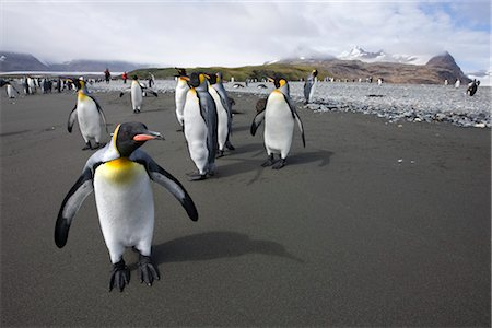 King penguins, South Georgia Island, Antarctica Stock Photo - Rights-Managed, Code: 700-03161708