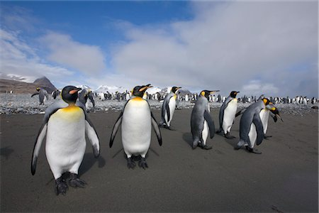 King Penguins, South Georgia Island, Antarctica Stock Photo - Rights-Managed, Code: 700-03161709