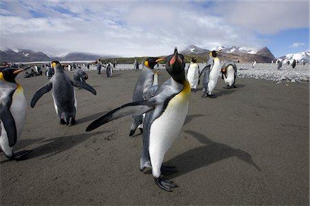 King Penguin, South Georgia Island, Antarctica Stock Photo - Rights-Managed, Code: 700-03161703