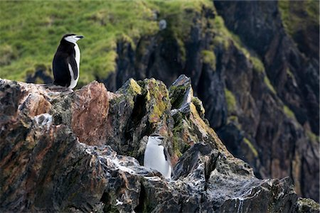 Chinstrap Penguins, South Georgia Island, Antarctica Stock Photo - Rights-Managed, Code: 700-03161711