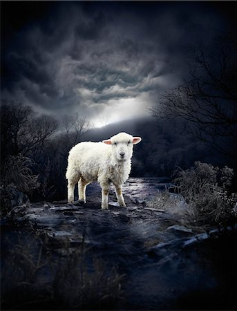 dreamy - Portrait of Sheep Stock Photo - Rights-Managed, Code: 700-03333171