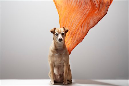 Dog and Scarf Stock Photo - Rights-Managed, Code: 700-03368393