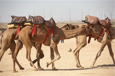 rajasthan camel - Camel Fair, Jaisalmer, Rajasthan, India Stock Photo - Rights-Managed, Code: 700-03406379