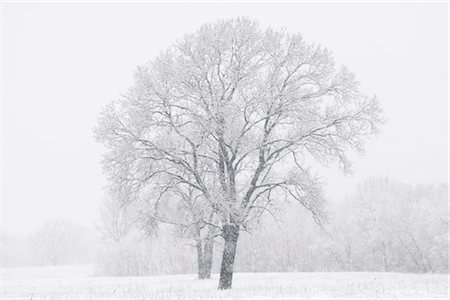Cottonwood Tree in Winter, Dallas, Texas, USA Stock Photo - Rights-Managed, Code: 700-03406621