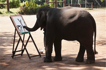 endangered animal - Trainer Helping Elephant Paint on Canvas, Thai Elephant Conservation Center, Lampang, Thailand Stock Photo - Rights-Managed, Code: 700-03407560