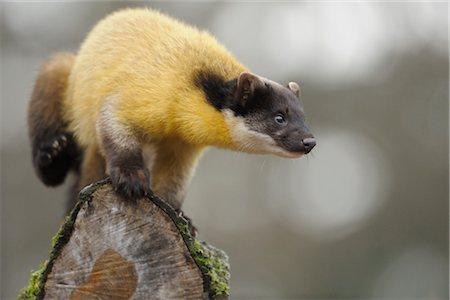 Nilgiri Marten on a Tree Trunk Stock Photo - Rights-Managed, Code: 700-03408021